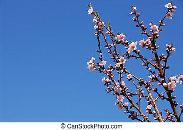 fa, őszibarack, virágzó