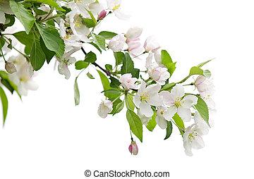 fa, alma, elágazik, virágzó
