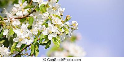 fa, alma, virágzó
