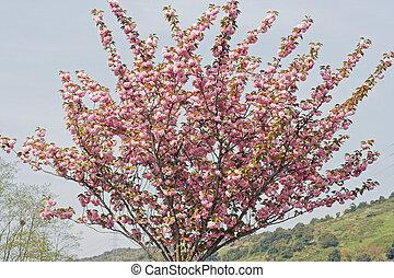 fa, virágzó