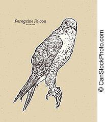 falcon., antik ábra, metszés, rajz, vektor, külföldi