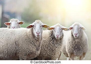 falka, sheep, farmland, álló