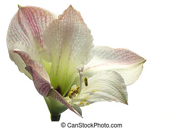 fehér, amarillisz, virágzó virág, egy, (amaryllidaceae), rózsaszínű