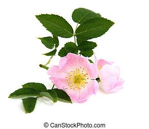 fehér, elágazik, háttér, csipkebogyó, rózsaszínű virág