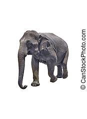 fehér, elszigetelt, háttér, elefánt