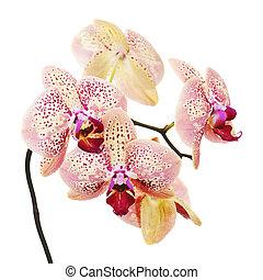 fehér, elszigetelt, háttér, orhidea