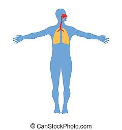 fehér, emberi, rendszer, légzési, háttér., elszigetelt, anatómia