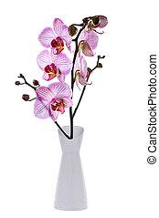 fehér, orhidea, elszigetelt, háttér, virágzó