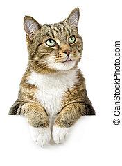 fehér, transzparens, felül, macska