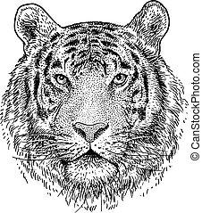 fej, ábra, rajz, metszés, tiger, vektor, tinta, megtölt rajzóra