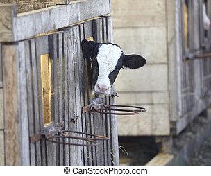 fej tehén, tanya, buta, mezőgazdaság