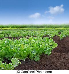 fejes saláta, szerves, kert