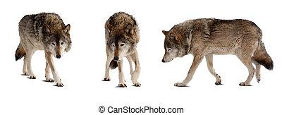felett, farkasok, kevés, állhatatos, fehér