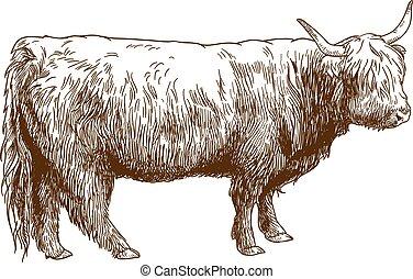 felföld, tehén, metszés, marha, ábra