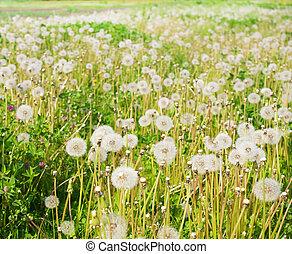 field., pitypangok, zöld, levegő