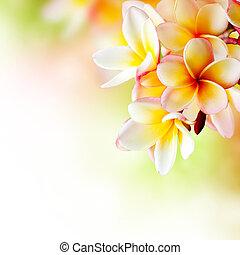flower., frangipani, tropikus, tervezés, plumeria, ásványvízforrás, határ