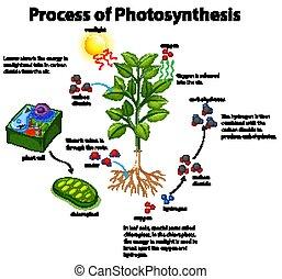 fotoszintézis, ábra, eljárás, kiállítás, cellák, berendezés