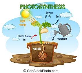fotoszintézis, berendezés, ábra, eljárás, kiállítás