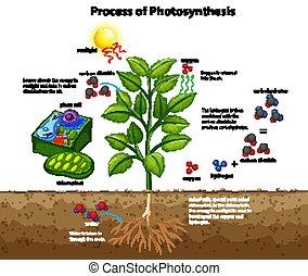 fotoszintézis, cellák, kiállítás, ábra, eljárás, berendezés