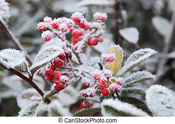 frost., északi, italy., zúzmara, alatt, piedmont, bogyók