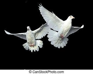 galamb, fehér, menekülés, szabad