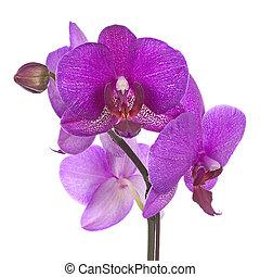gally, elszigetelt, virágzó, háttér., orhidea, bíbor, fehér