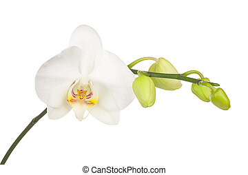 gally, elszigetelt, virágzó, háttér., orhidea, fehér