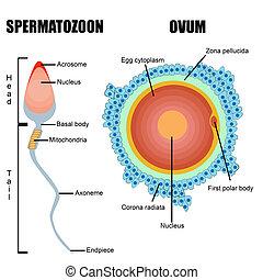 gametes, sperma, emberi, :, tojás, szerkezet