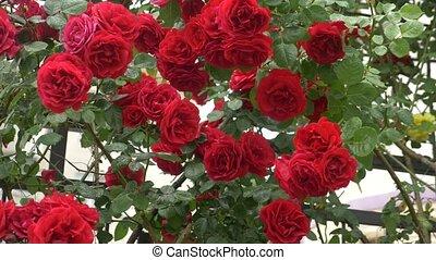 gardening., függőleges, 4k, után, nagy, agancsrózsák, bokor, rain., virágzó, lövés, piros, slow-motion
