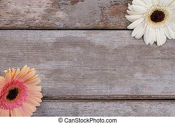 gerbera, flowers., két, százszorszép