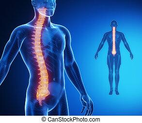 gerinc, anatómia, csont, röntgen, fürkész