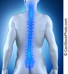 gerinc, anatómia, hátsó, emberi, kilátás