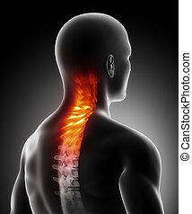 gerinc, anatómia, nyaki, fáj