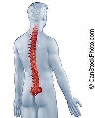 gerinc, elszigetelt, anatómia, hátsó, helyzet, ember, kilátás