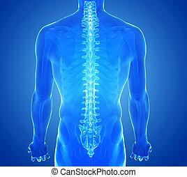 gerinc, röntgen, emberi, kilátás