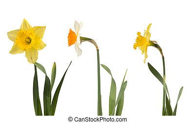 gyönyörű, állhatatos, fehér, nárciszok, sárga
