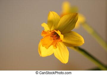 gyönyörű, állhatatos, nárciszok, elszigetelt, sárga