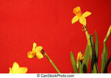 gyönyörű, állhatatos, sárga, nárciszok, háttér, piros