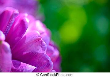 gyönyörű, életlen, tulipán, zöld háttér, ibolya