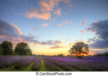 gyönyörű, atmoszférikus, érett, vibráló, vidéki táj, megfog, kép, ég, levendula, nyomasztó, napnyugta, angol, elhomályosul, felett, táj