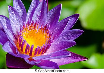gyönyörű, bíbor virág, lótusz