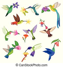 gyönyörű, egzotikus, kicsapongó élet, állhatatos, kismadár, természet, repülés, betű, elszigetelt, ábra, madár, tropikus, vektor, háttér, humming-bird, tropikus, zümmögés, menstruáció, fehér, kasfogó, kolibri