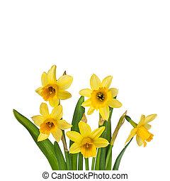 gyönyörű, elszigetelt, sárga, nárciszok, háttér, white virág
