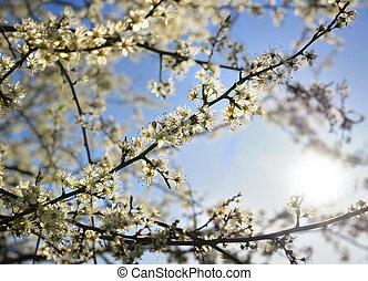 gyönyörű, eredet, fa, virágzó