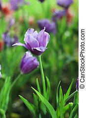 gyönyörű, eredet, ti, mező, tulipánok