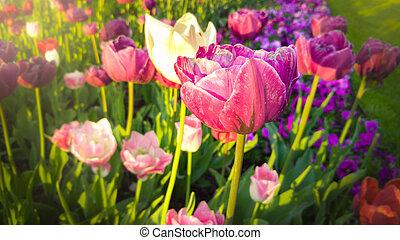 gyönyörű, hanglejtés, tulipánok, reggel, korán, rózsaszínű, fénykép, fehér