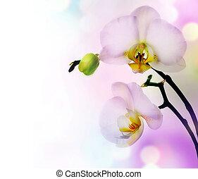 gyönyörű, határ, orhidea