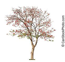 gyönyörű, korall, fa, piros, virágzó