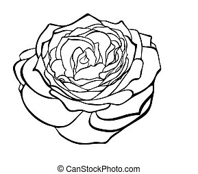 gyönyörű, mód, rózsa, fekete, fehér, engraving.