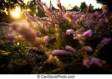 gyönyörű, mező, napnyugta, levendula